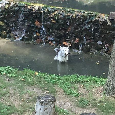 Grey wolf at Busch Gardens - Picture of Busch Gardens Williamsburg ...