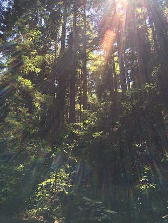 Lodato Park: Redwoods and sunshine.
