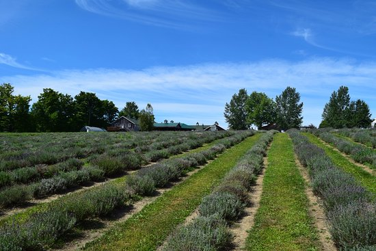 Stanstead, Kanada: The lavender fields