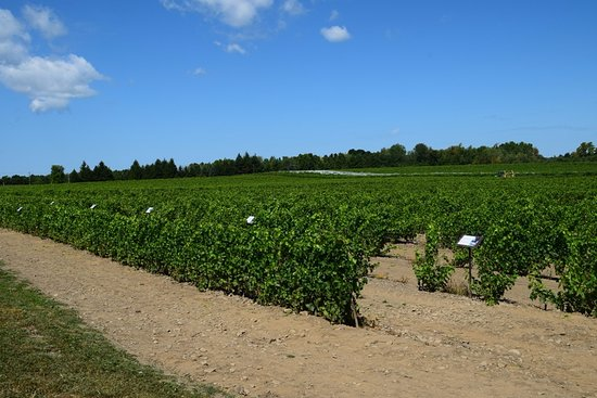 Dunham, Канада: Vineyard