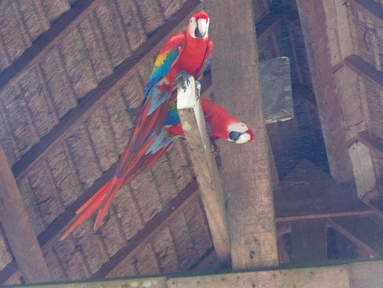 Tambopata Research Center: Resident Macaws in the rafters