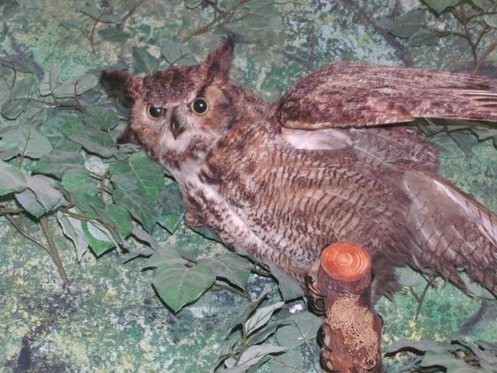 Camanche, ไอโอวา: Beautiful Owl