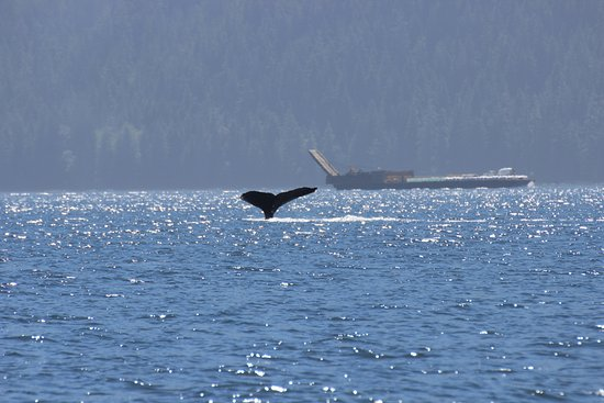 Campbell River, Canada: Whale deep diving again...
