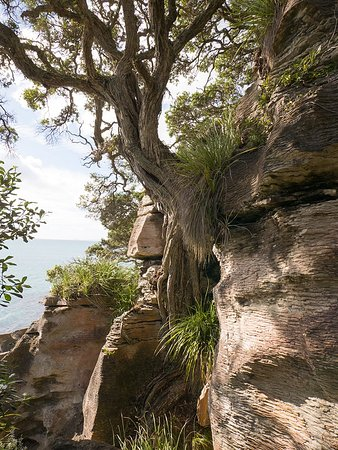 Whangarei, New Zealand: A cliffhanging Pōhutukawa tree