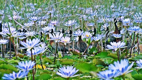 Vilanculos, Mosambik: White Faced Ducks