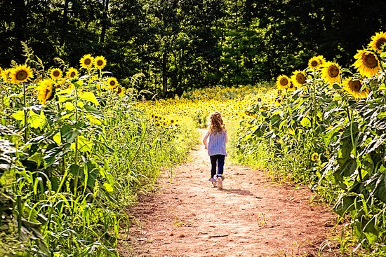 Lee, NH: My granddaughter running through the sunflower fields at Coppal House Farm