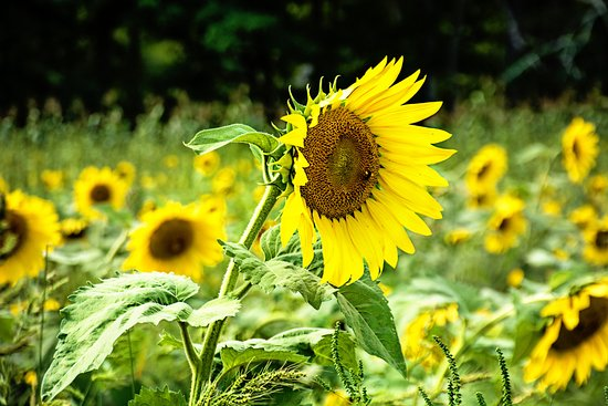 Lee, Nueva Hampshire: Sunflower fields at Coppal House Farm