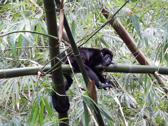 Puerto Lindo, Panama: Monkeys in the Garden