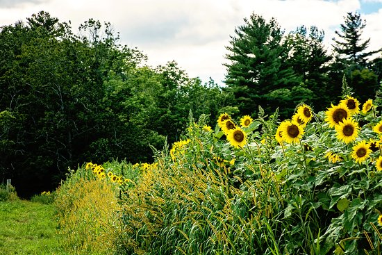Lee, Нью-Гэмпшир: Fields of Sunflowers at Coppal House Farm