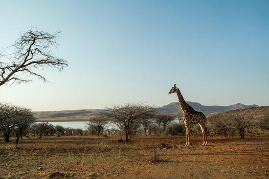 Spioenkop Nature Reserve: giraffe in de namiddag zon