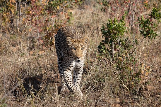 Madikwe Game Reserve, Sudáfrica: A beautiful young female leopard found by Kgomotso