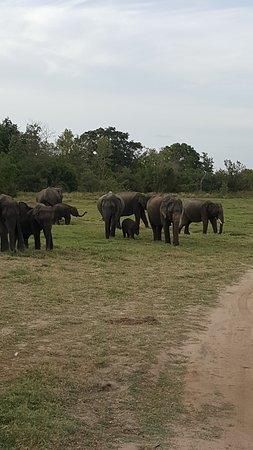 Habarana, Sri Lanka: A smaller herd just around the corner