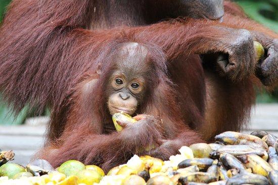 Orangutan Voyage