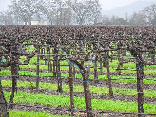Rutherford, CA: Caymus Vineyard