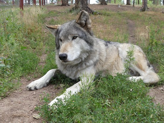 Divide, CO: This was the ultimate experience, to interact with the wolves on their terms. The personnel are