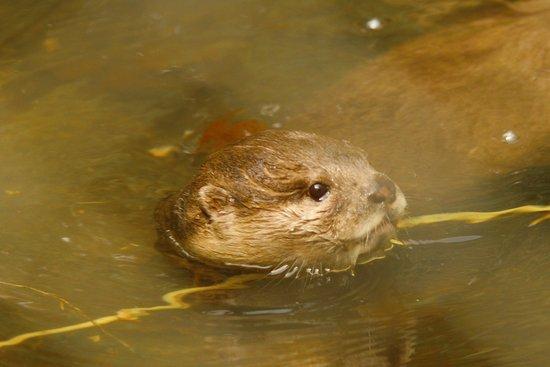 Chapel-en-le-Frith, UK: otter
