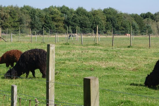 North Kessock, UK: Zebra