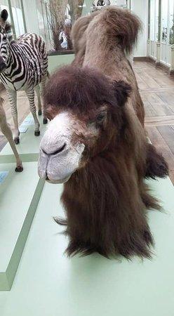 Tournai, Βέλγιο: Camel
