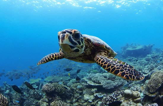 Four Seasons Resort Maldives at Landaa Giraavaru: Turtle Snorkeling