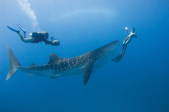 Four Seasons Resort Maldives at Landaa Giraavaru: Whale Shark