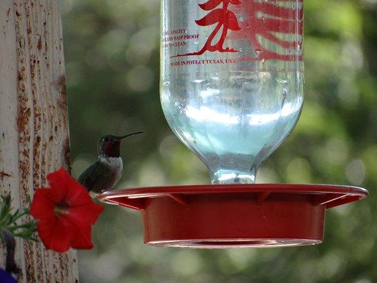 Brighton, UT: hummingbird