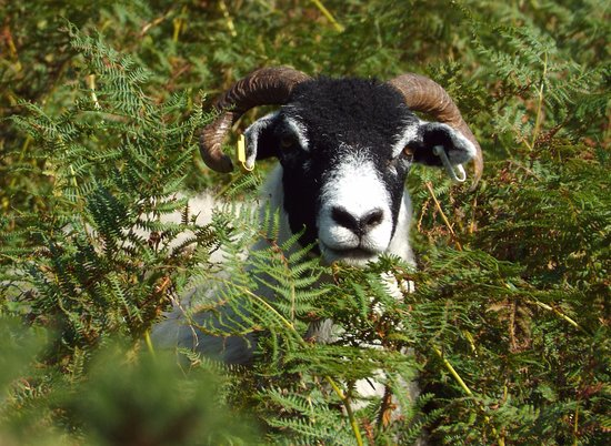 Loweswater, UK: Could this be the Henry lamb?