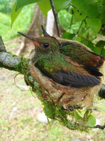Selva Verde Lodge: Nido de colibríes enfrente de nuestra habitación.