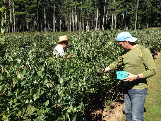 Moultonborough, NH: 'Pick Your Own' Blueberries at Angelic Farm