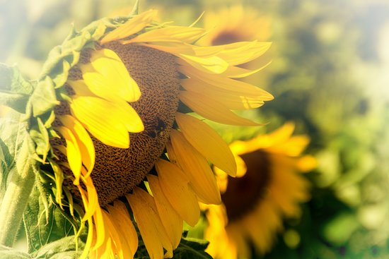 Lee, Нью-Гэмпшир: Sunflowers at Coppal House Farm