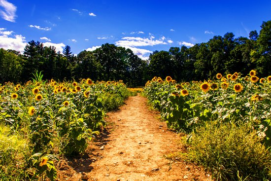 Lee, NH: Sunflower Field at Coppal House Farm