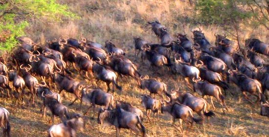 Sanctuary Olonana: wildebeest running around