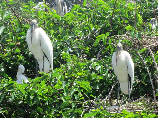 Wakodahatchee Wetlands: Baby in nest