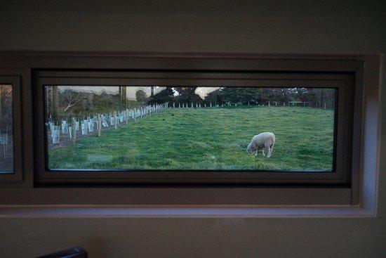 Остров Филлип, Австралия: View of Spot the sheep from the kitchen window