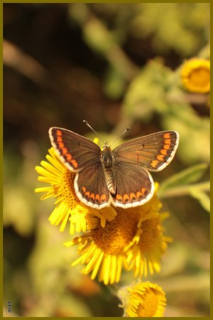 High Woods Country Park: Brown Argus.
