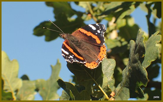High Woods Country Park: Red Admiral.