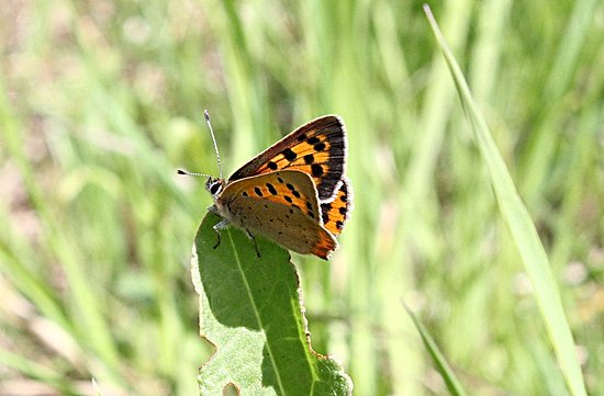 High Woods Country Park: Small copper.