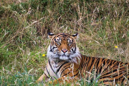 Tacoma, WA: Tiger