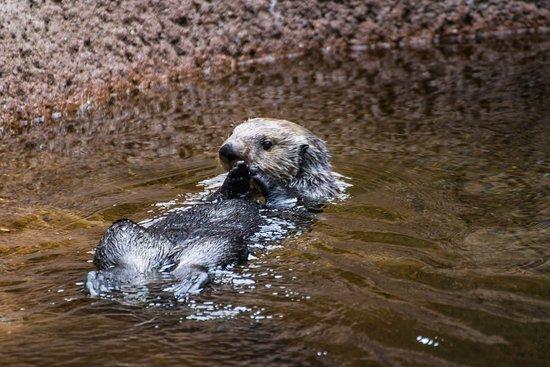 Tacoma, WA: Sea Otter