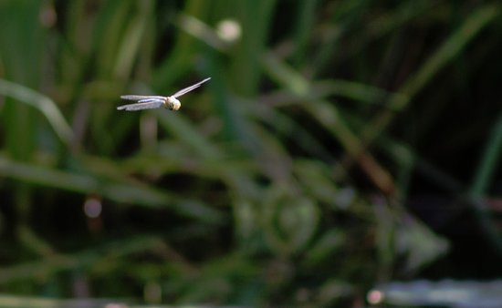 Ramsgate, UK: Dragonfly (or damsel fly?) over the pond