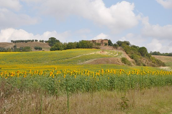 San Giovanni d'Asso, İtalya: View of sunflowers on walk