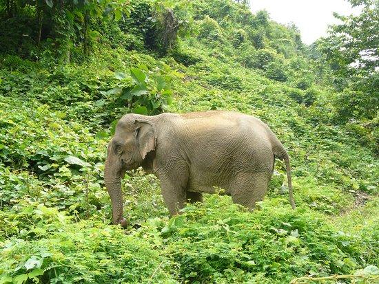 Sayaboury, Laos: elephant dans la nature