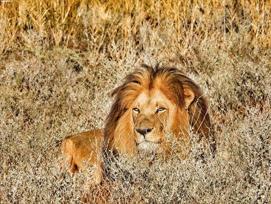 Ceres, Afrika Selatan: Leeuw in Inverdoorn