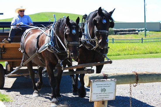 Bar U Ranch National Historic Site: la cariole et les chevaux percherons