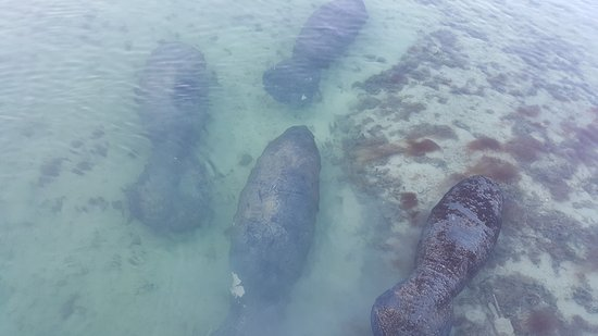 Coconut Mallory Resort And Marina: Manatees seen on the Hotel Marina