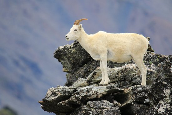 Mount Margaret Summit: One of the Dall Sheep seen at the top.