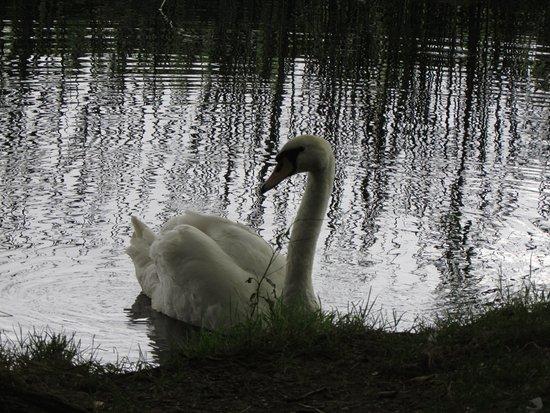 Clare, UK: Mute swan