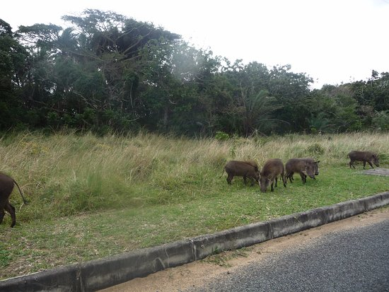 St Lucia, Sudafrica: driving past warthogs