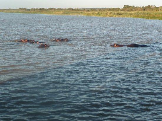St Lucia, Sudafrica: hippo family