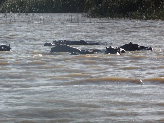 St Lucia, Sudáfrica: hippo again