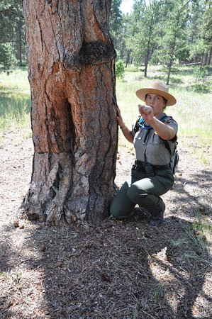 Florissant, Colorado: Ranger pointing out tree bark stripped a long time a ago, most likely for medicinal purpos
